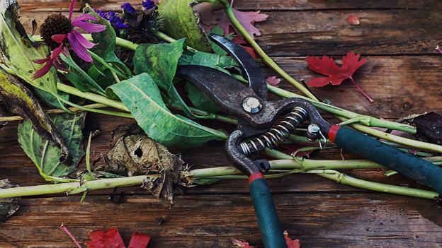 Gartenschere und abgeschnittene verblühte Blumen auf Holzbrett