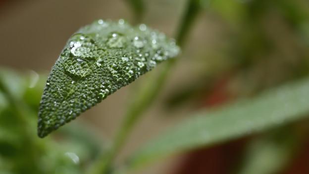 Ein Salbeiblatt in einer Nahaufnahme mit einem Wassertropfen darauf.