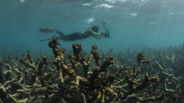 Taucher schwimmt über Korallenskelette