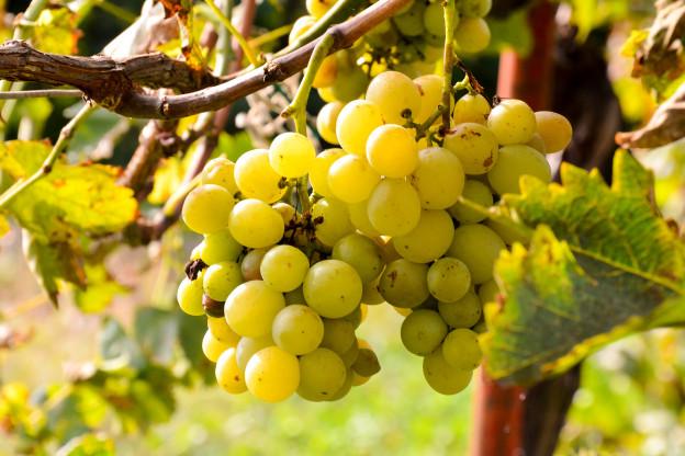 Weintrauben unter dem Pergola Dach.