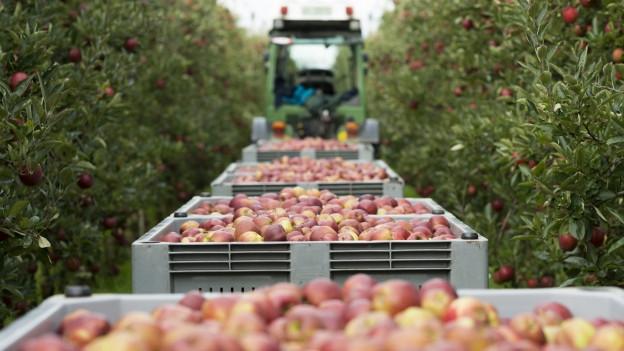 Eine grosse Menge Äpfel werden geerntet.