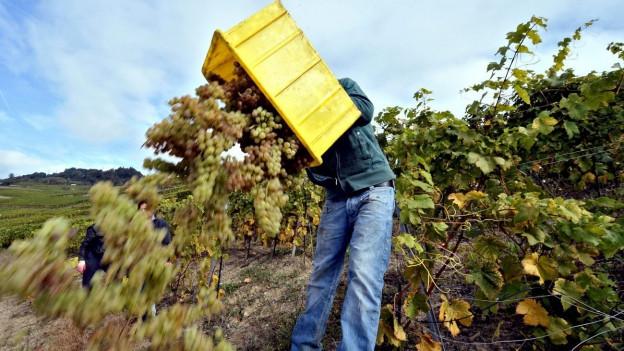 Weintrauben werden abgelesen.
