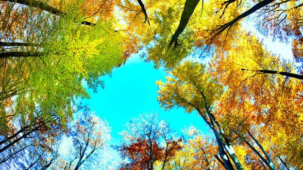 Blick in die herbstlichen Baumkronen.