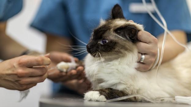 Tierarzt behandelt eine Katze.