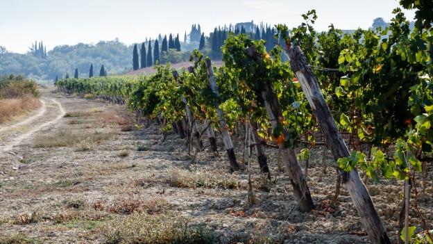 Reben in der Toscana.