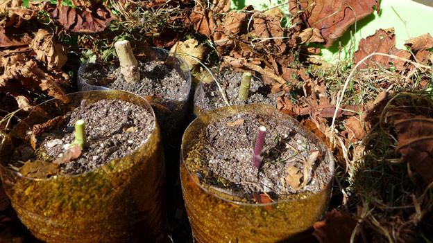 Petflaschen mit Stecklingen in einem Eimer mit Laub.