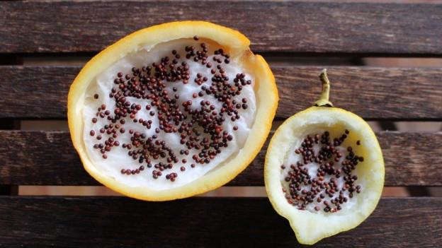 Halbe ausgehöhlte und mit Watte ausgekleidete Zitrusfrucht. Darauf keimen Sprossen.