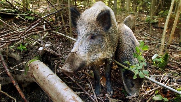 Zwei Wildschweine stehen nebeneinander.