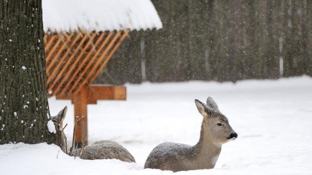 Zwei Rehe liegen vor einer Futterkrippe im verschneiten Wald.