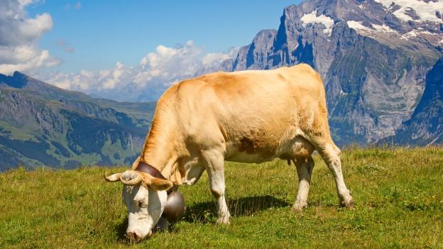 Kuh auf Alpweide.