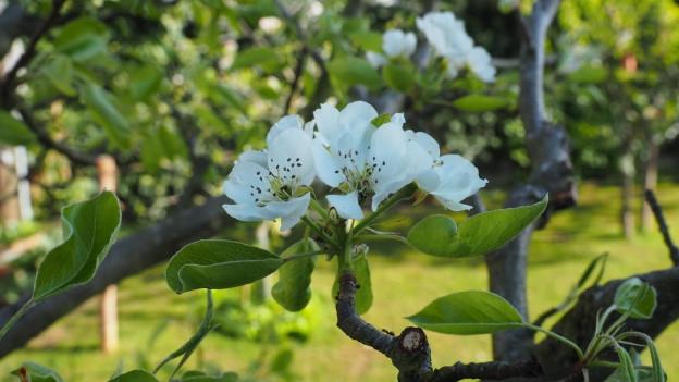 Weisse Apfelblüten in Nahaufnahme.