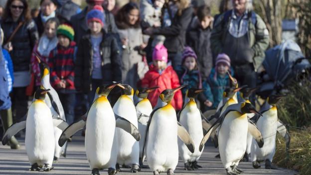 im Vordergrund eine Schar Pinguine auf Spaziergang auf den Gehwegen einer Zooanlage; im Hintergrund unscharf eine Menschenmenge, die dabei zuschaut.