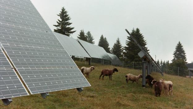 Weidende Schafe auf dem Gelände des Solarkraftwerks Mont Soleil im Berner Jura.