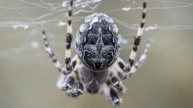 Kreuzspinne in einem Netz.