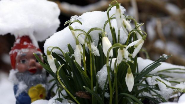 Schneeglöckchen wachsen inmitten von Schnee