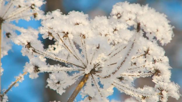 Schneebedeckte Blume.