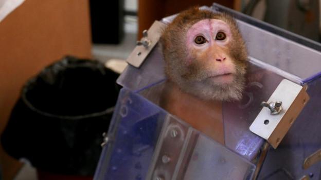 Ein Affe in einer Glasbox.