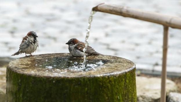 Ein Spatzenpaar kühlt sich an einem Brunnen ab.