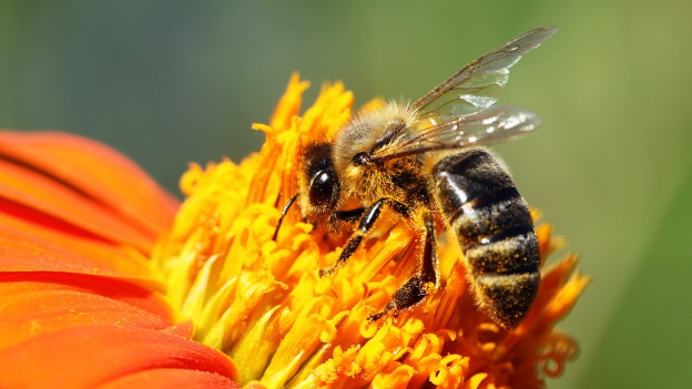 Eine Biene auf einer Blume.