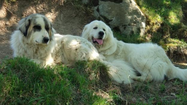 Bewachen ihre Herde: Zwei Montagne des Pyrénées (Pyrenäenberghund)