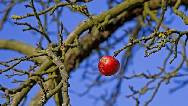 Ein einziger Apfel am Baum.