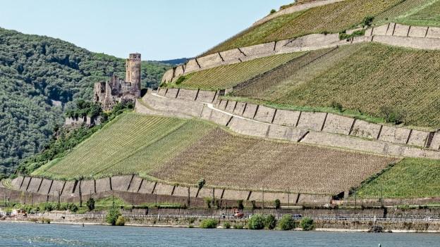 Riesling-Reben bei Rüdesheim im Rheingau.
