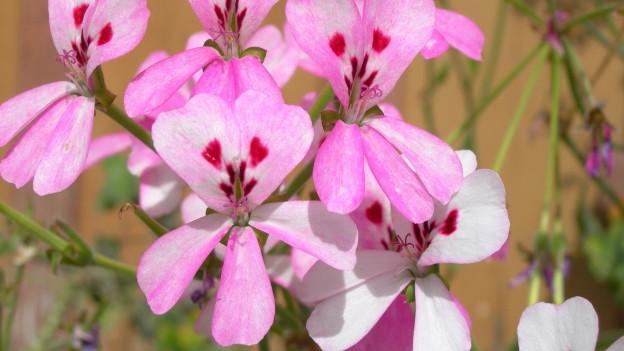 Blüte einer Duftgeranie