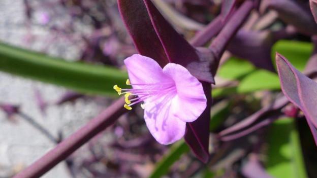 Eine Dreimasterblume (Tradescantia pallida).