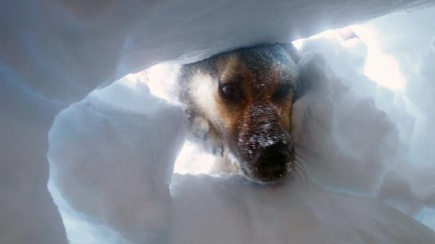 Lawinenhund blickt in Schneehöhle.