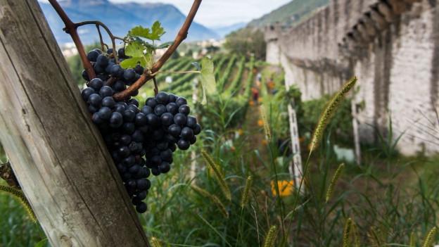 Ein Wall führt am Weingut entlang. Eine Traube ist im Fokus.