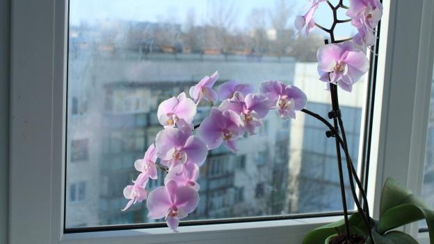 Eine Orchidee an einem Fenster, mit Blick nach draussen.