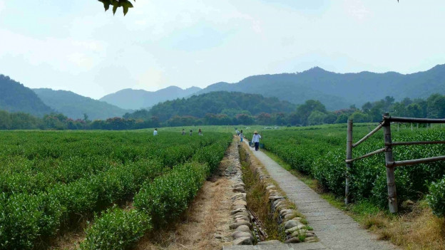 Teeplantage in China.
