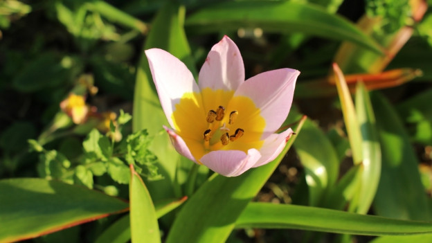 Lilac-Tulpe