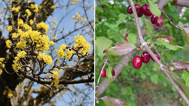 Kornelkirschen: Blüten im März, rote Steinfrüchte im September.