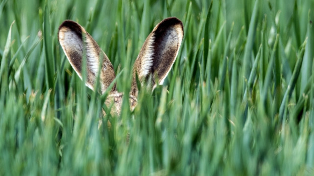 Grosse Hasenohren in einem Feld