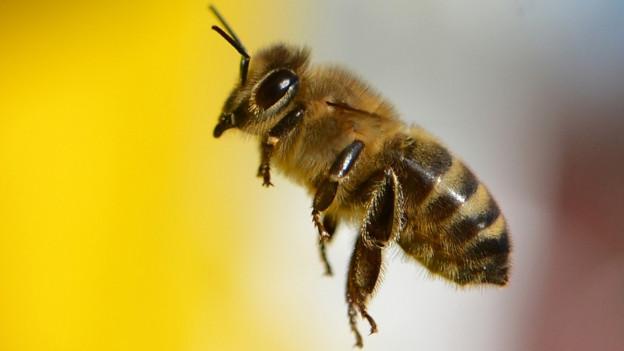 Wildbiene in Grossaufnahme