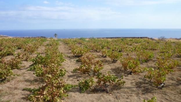 Zibibbo-Reben auf Pantelleria.