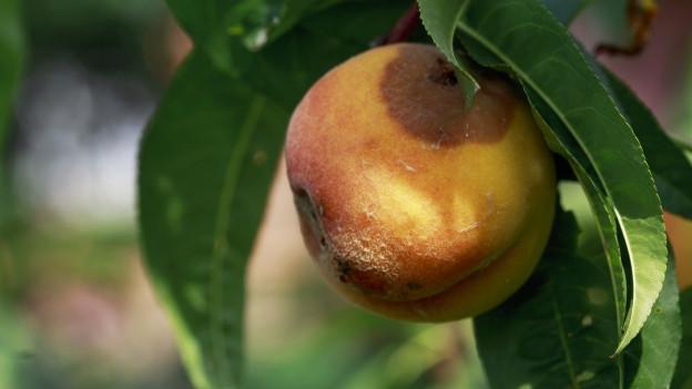 Auch Früchte können Sonnenbrand kriegen.