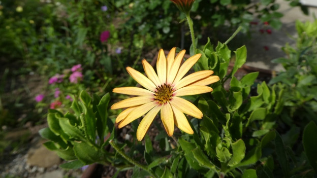 Eine grosse sternenförmige gelbe Blüte.