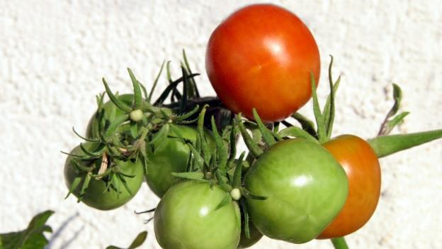 Rote und grüne Tomaten am Strauch.