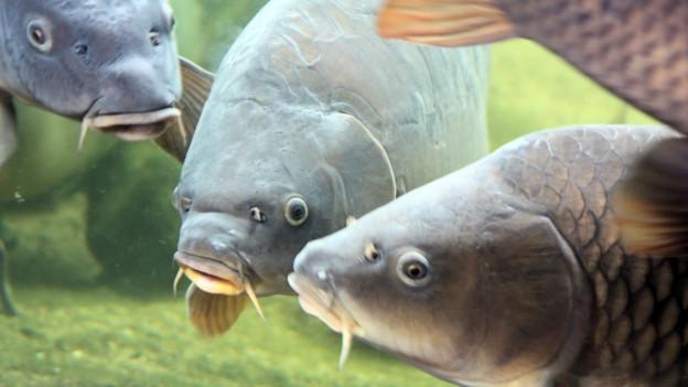 Friedfische jagen keine anderen Fische: z.B. der Karpfen.