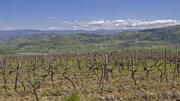 Landschaft mit Reben in Istrien.
