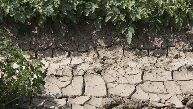 Erde zwischen Kartoffelpflanzen ist bereits rissig wegen der Trockenheit