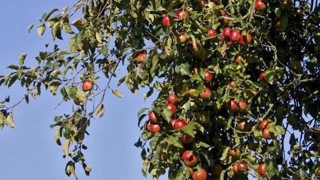 Apfelbaum mit reifen Äpfeln.