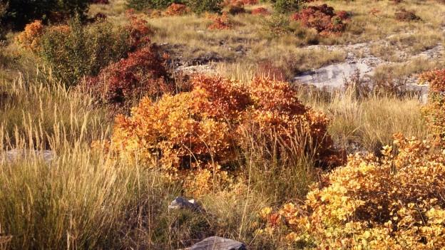 Der Perückenstrauch gehört zur Familie der Sumachgewächse