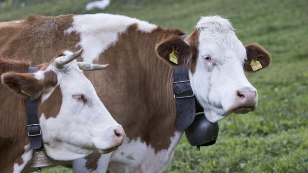 Eine Kuh mit Hörnern und eine ohne stehen auf der Wiese.
