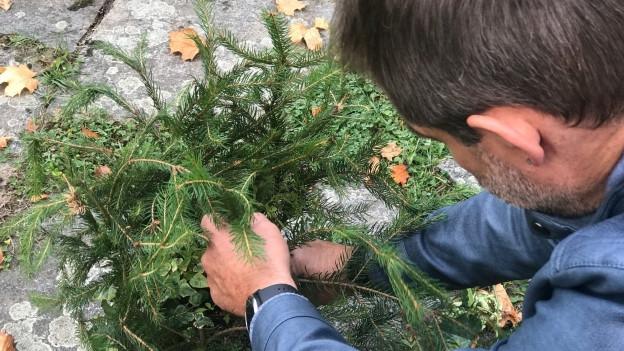 Thomy Scherrer steckt Tannenzweige in eine Topfpflanze.