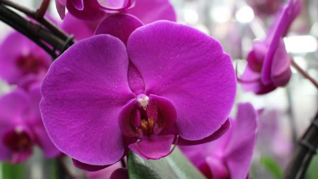 Eine violette Orchidee.