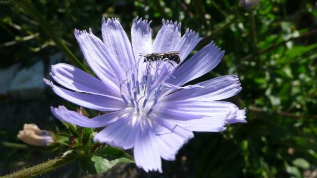 Der Löcherbiene gefällt es auf der blauen Wegwarte.