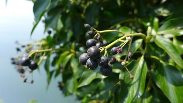 Efeu mit verschiedenen Beeren daran